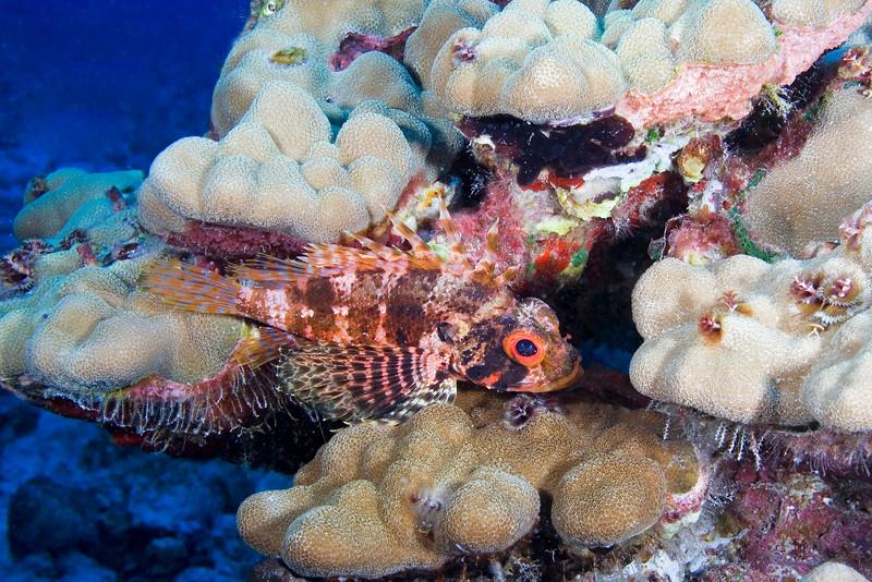Hawaiian Lionfish 2.jpg