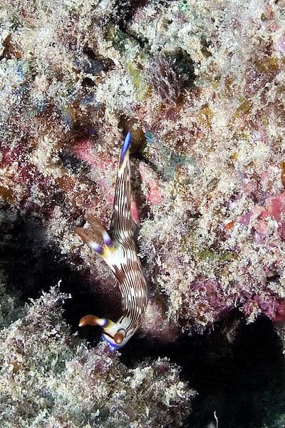 Blue Tail Nudibranch.jpg