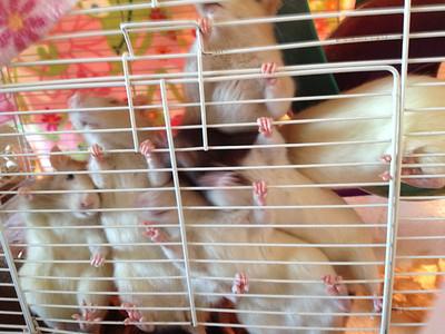 My Human Heart To Help Rat Behavior