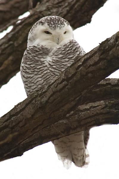 Owl - Snowy - Tamarack Nature Center - Ramsey County, MN