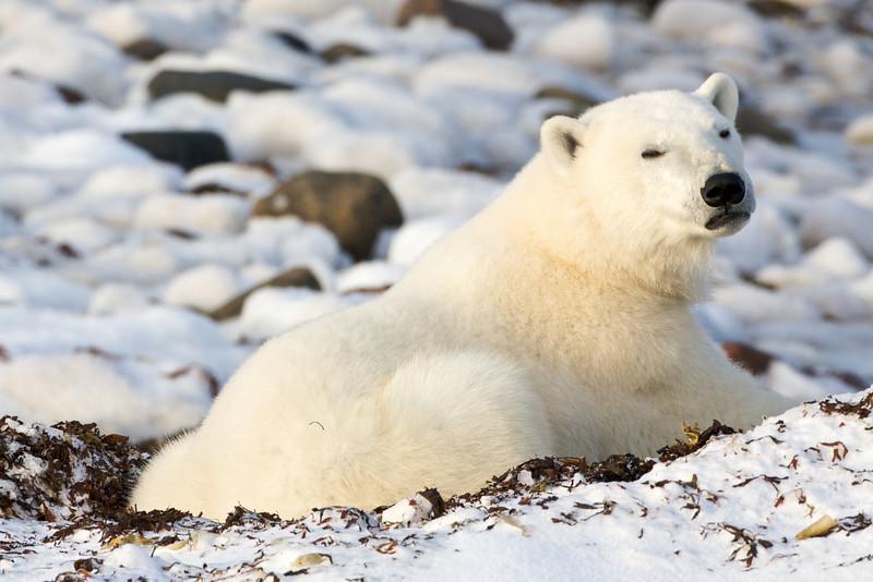 polar bear  5943.jpg