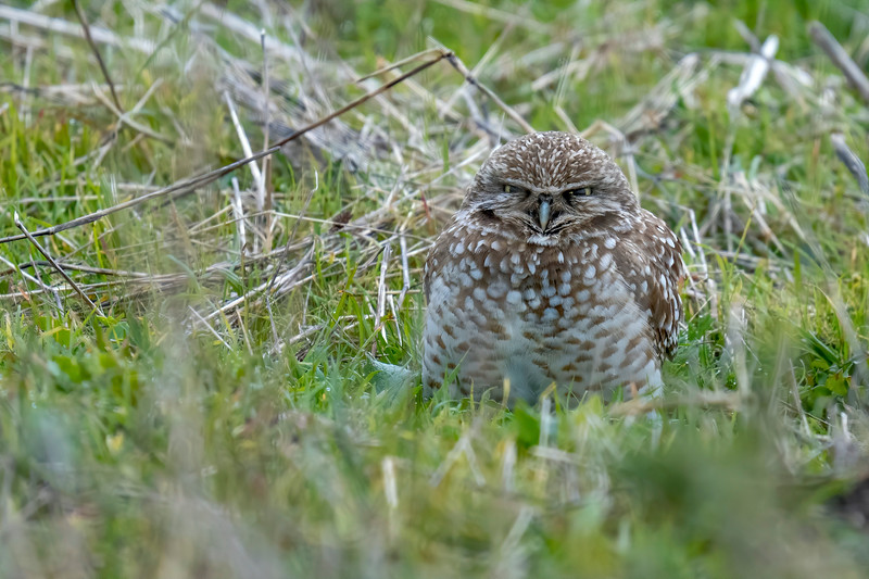 Burrowing Owl at Point Reyes