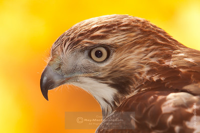 Hawk, Red Tailed