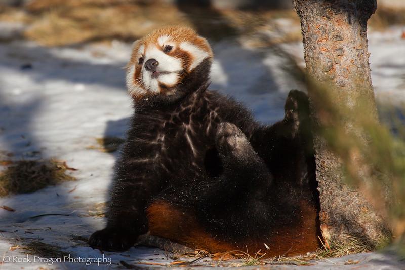 A red panda cub at the Calgary Zoo.