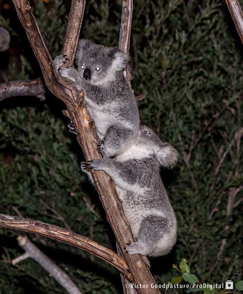 Koalafornia-50.jpg