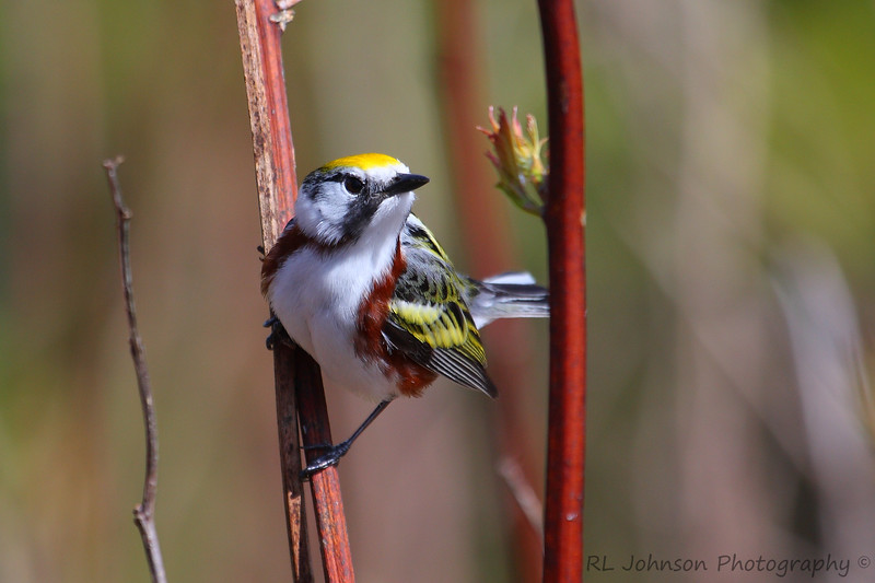Chestnut-sided Warbler - Maggie Valley, NC - May 2014