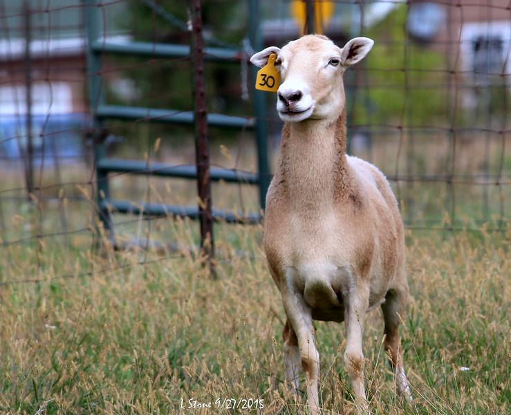 2015.9.27 Herding at Bonnies (21).JPG