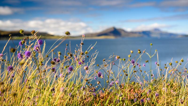 Coastal flowers on Skye