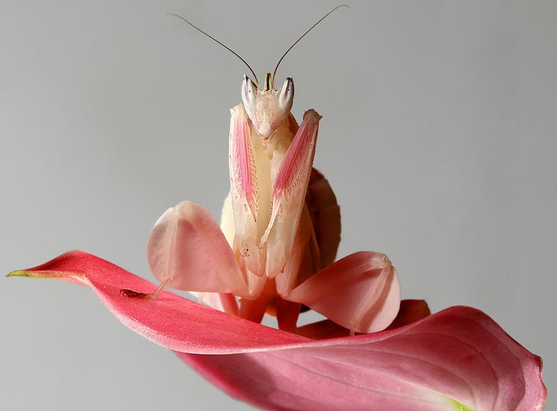 Sub-Adult Female Orchid Mantis.jpg