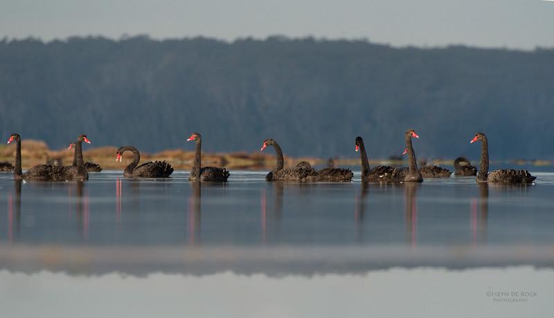 Black Swans, Lake Woolumbulla, NSW, Aus, Jun-1.jpg
