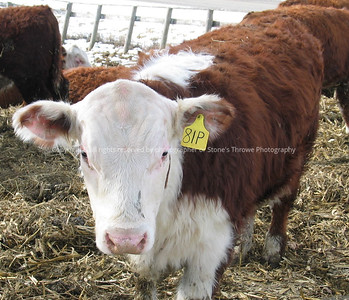 029-cattle-nlg-ndg-1327
