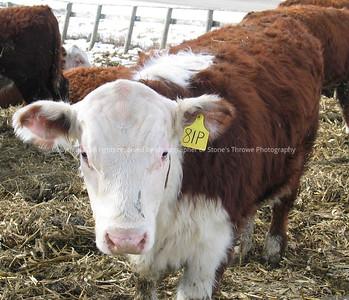 029-cattle-nlg-ndg-1327