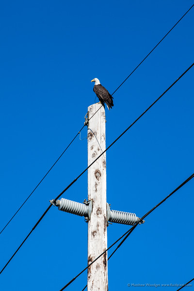 Woodget-140817-020--bald eagle, eagle, telephone pole.jpg