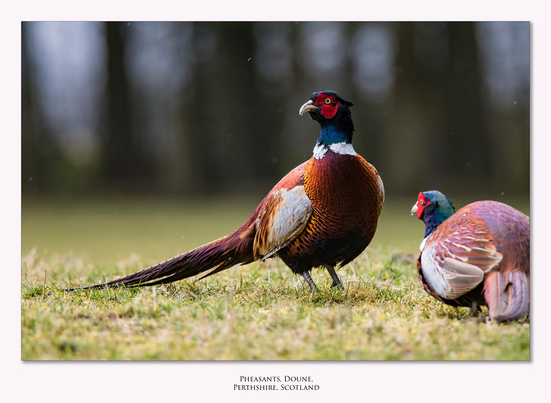 Pheasants_Border.jpg