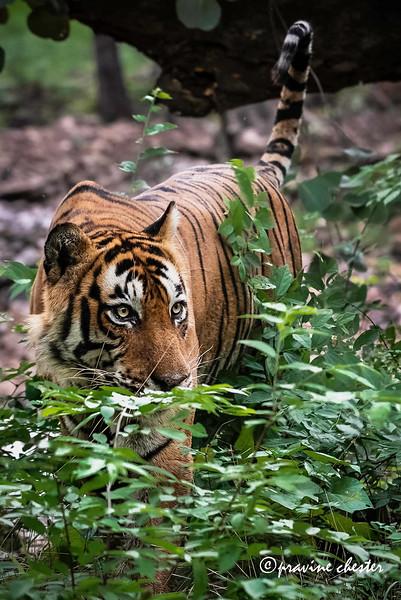 Peeping Tiger