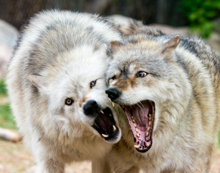 2016 Wolf Institute - Ely, MN-12.jpg