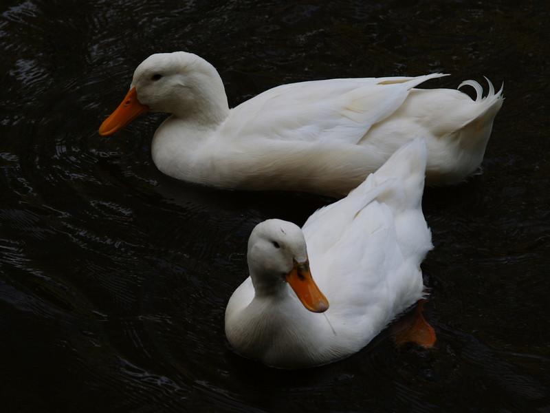 white ducks.JPG