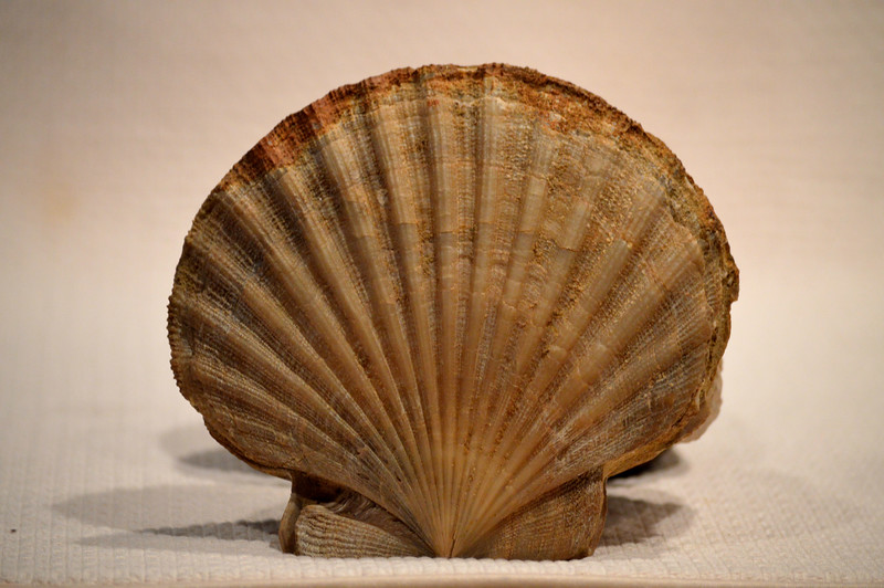 scallop-large.jpg