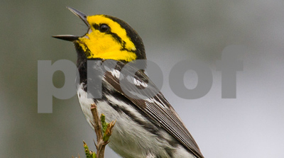 lawsuit-filed-to-delist-goldencheeked-warbler-from-the-endangered-species-act-action