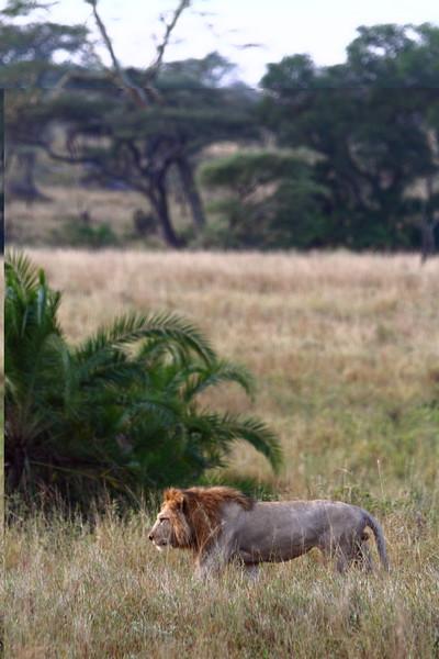 Male Lion in Grass.JPG