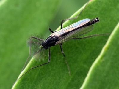 Chironomidae - Midges