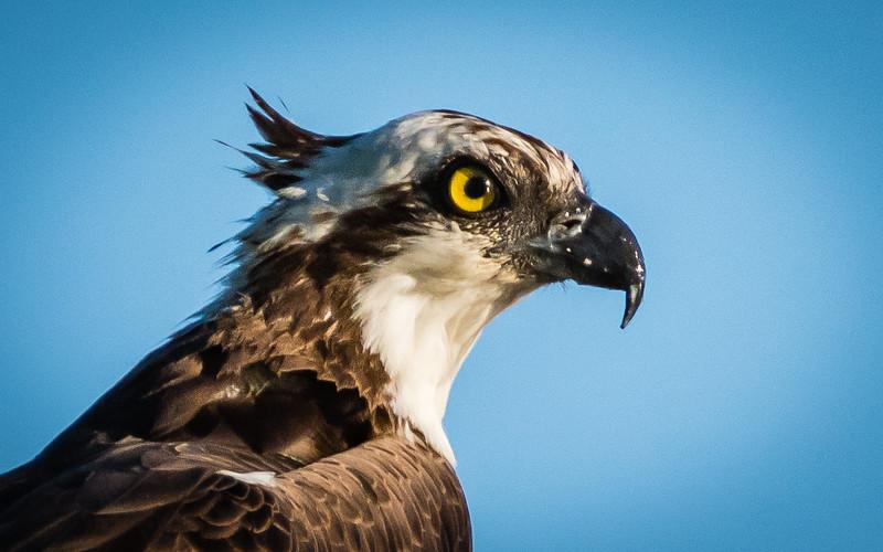 Osprey portrait-1286.jpg