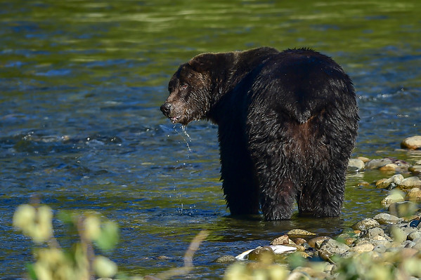 9-10-15 Grizzly Named Mac - 1st Encounter