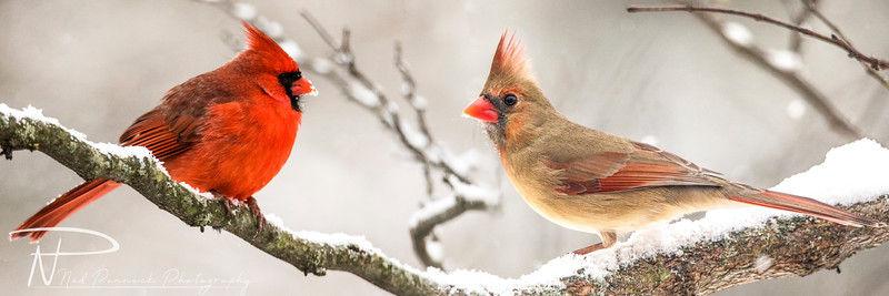 Male and Female Cardinals_v2.jpg