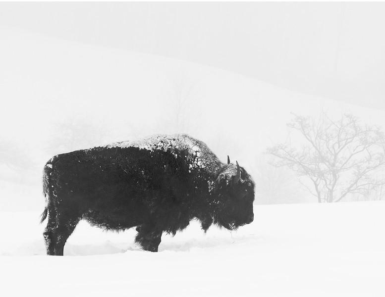 Buffalo-2.jpg