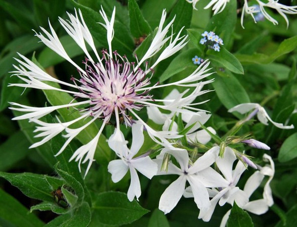 Centaurea montana 'Lady Flora Hastings'.jpg