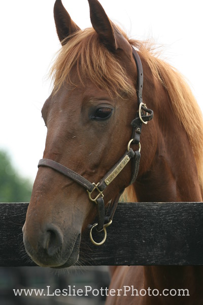Chestnut Saddlebred Horse Looking Over the Fence