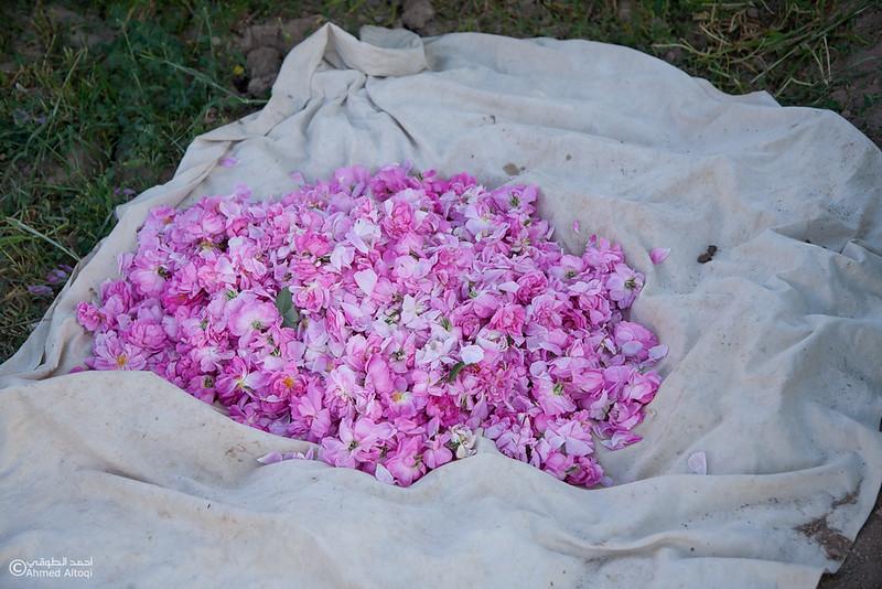 Roses Water (82)-Aljabal Alakhdhar-Oman.jpg