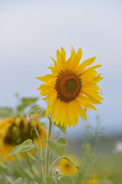 Sunflower Lonay_20092020 (47).JPG