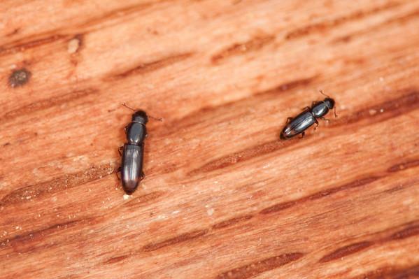 Monotomidae