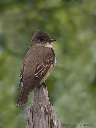 Flycatchers