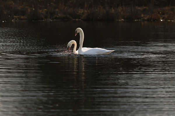 First Complete Series of Swans' Mating Ritual Photos