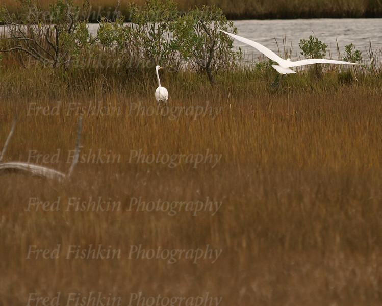 egret couple 3.jpg