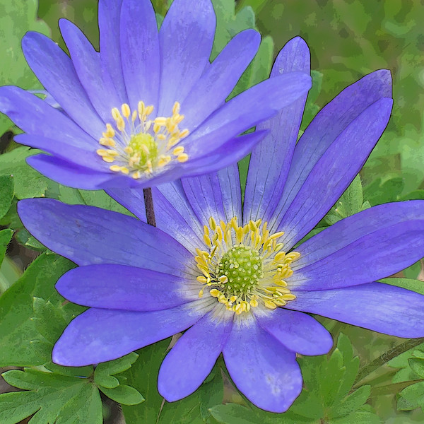 Blue Windflowers