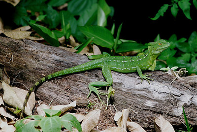 Geckos and Lizards from Around the World