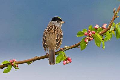 Golden-crowned Sparrows