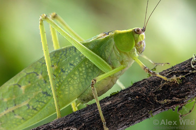 Orthoptera: Crickets and relatives