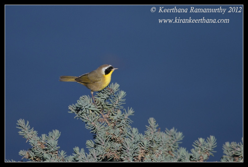 Common Yellowthroat, Robb Field, San Diego River, San Diego County, California, February 2012