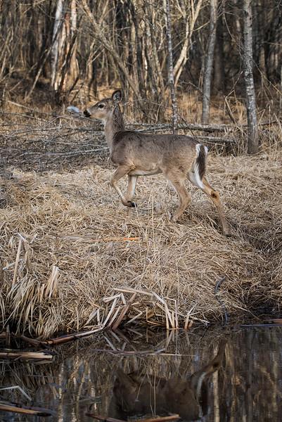 Deer reflection  April 2016_.jpg