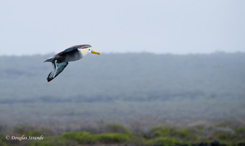 Albatross goes airborn at Punta Suarez, Espanola Island