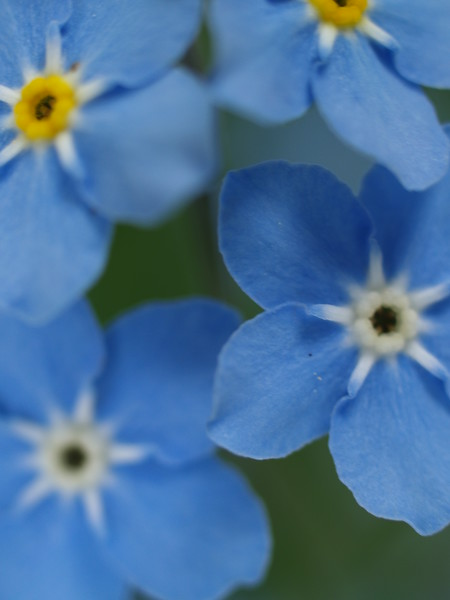 Forget-me-nots - the Alaska state flower