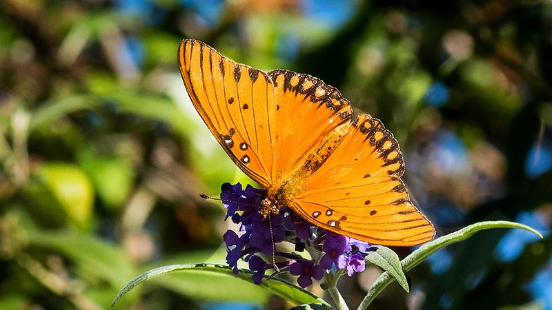 San Diego Botanical Gardens - Butterfly 1.jpg