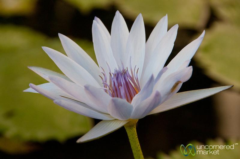 Lily Flower at Xochempich Cenote - Yucatan, Mexico