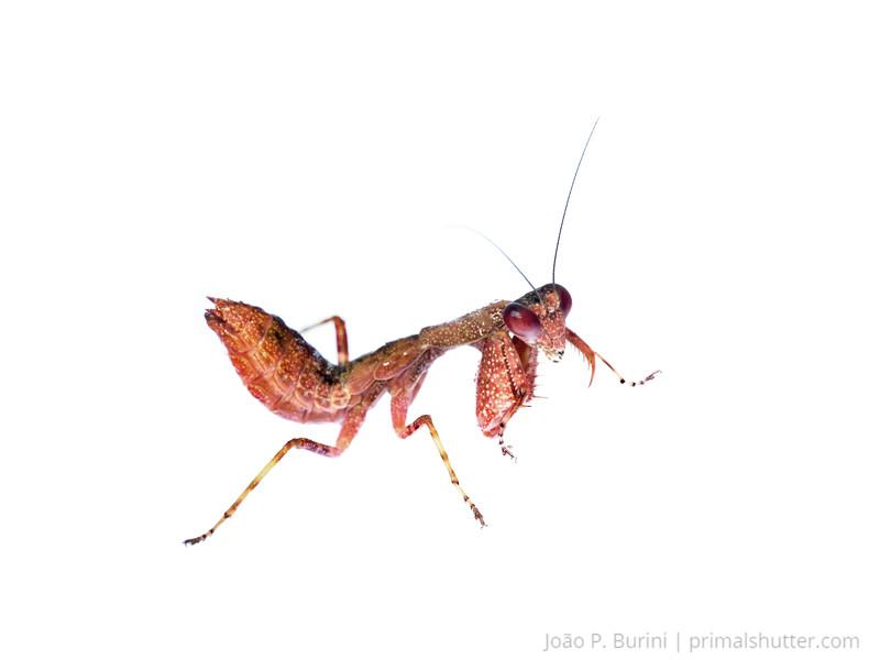 Red dwarf mantis (Acontista sp.) Tapiraí, São Paulo, Brazil Atlantic forest (rainforest strictu sensu) July 2017