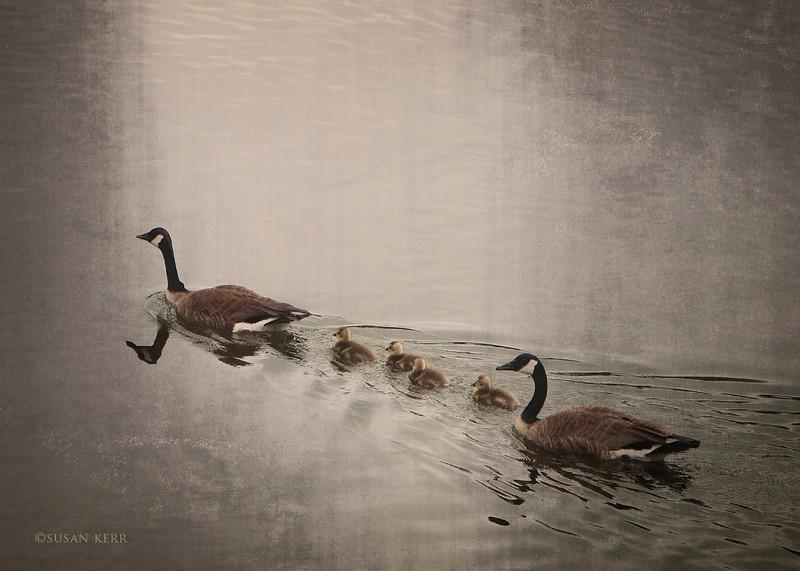 geese6495 copy.jpg