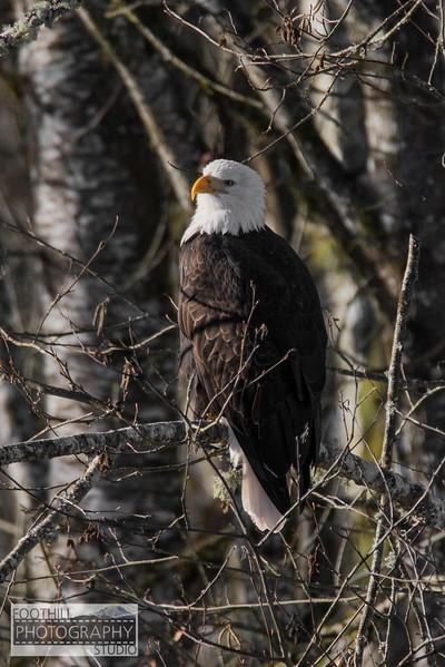 Eagle Sml-2.jpg